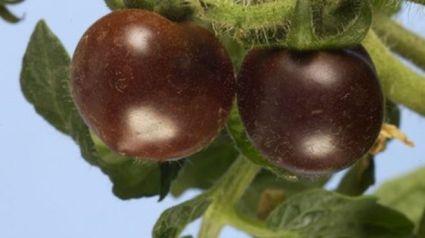 Black tomatos - GMO